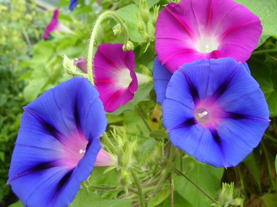 September Birth Flower Morning Glory Pictures