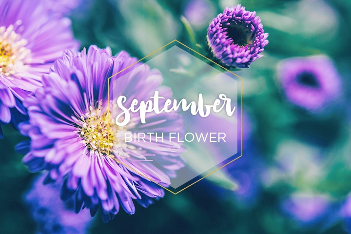 September Birth Month Aster Flower